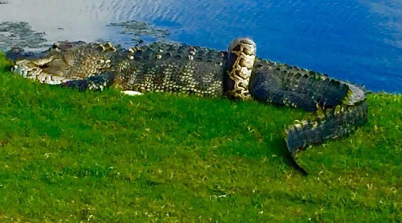 Gator, python tangle on Florida golf course